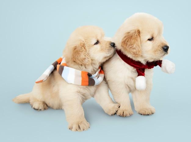 Dos cachorros de golden retriever con bufandas Foto gratis
