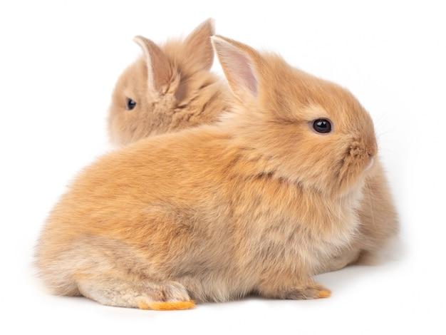 Dos conejos bebé rojo marrón aislados Foto Premium