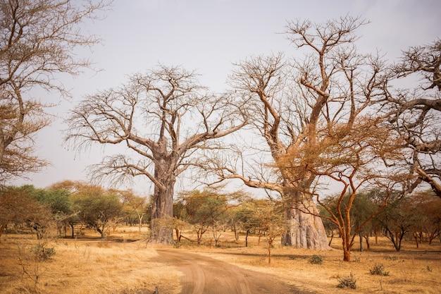 Dos grandes baobabs en tierra arenosa. vida salvaje en safari. selvas de baobabs y arbustos en senegal, áfrica. reserva de bandia. clima cálido y seco. Foto Premium