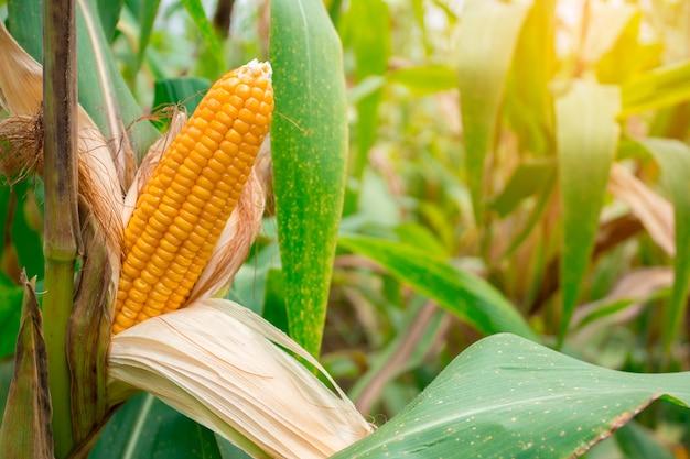 el maíz en la mazorca mata parásitos