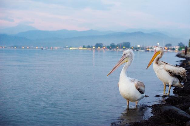 Dos pelícanos en el paseo marítimo de la ciudad Foto Premium