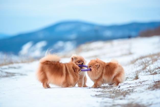 Dos perros de color rojo de raza spitz juegan en la montaña en invierno. Foto Premium