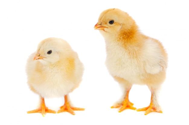 Dos pollos sobre fondo blanco Foto Premium