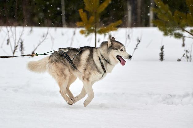 Ejecutando carreras de perros husky Foto Premium