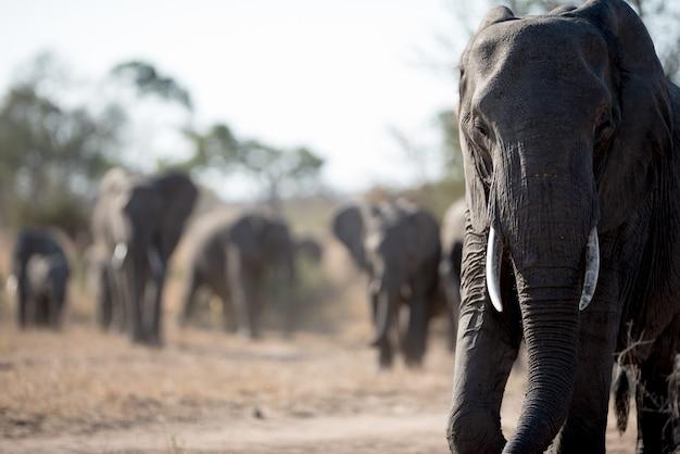 Elefante africano caminando con la manada Foto gratis