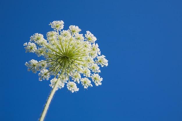 Eneldo blanco flor hierba en el cielo azul Foto Premium
