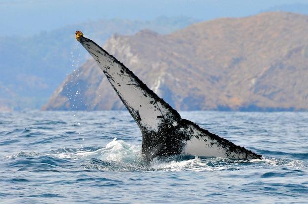 La enorme cola de una ballena jorobada en la costa de ecuador Foto Premium