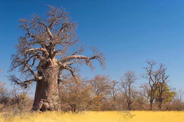 Enorme planta de baobab en la sabana con cielo azul claro Foto Premium
