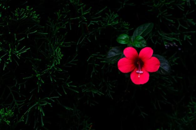 Enredadera de coral de flor roja (barleria repens) que crece en pino Foto Premium
