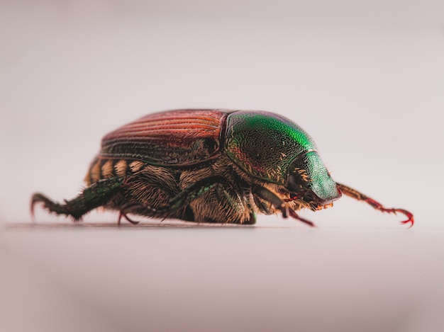 Escarabajo japonés (popillia japonica) Foto gratis