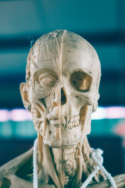 Estructura Del Cráneo Humano Foto Premium