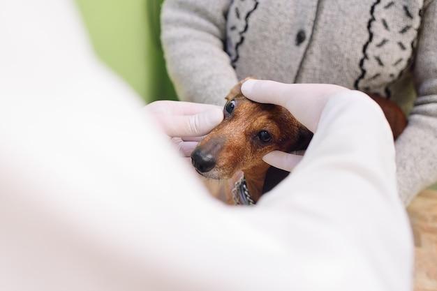 Examen médico de perros dachshunds en una clínica veterinaria Foto Premium