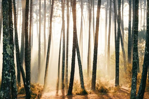 Fabuloso bosque europeo. pintoresco amanecer en la naturaleza. cuento de hadas vista panorámica. magníficos rayos de sol en los pinos. Foto Premium