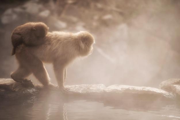 Familia De Monos De Nieve En El Parque Jigokudani Al Atardecer