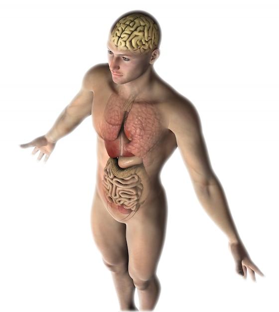 Figura masculina 3d con órganos internos y cerebro. Foto gratis