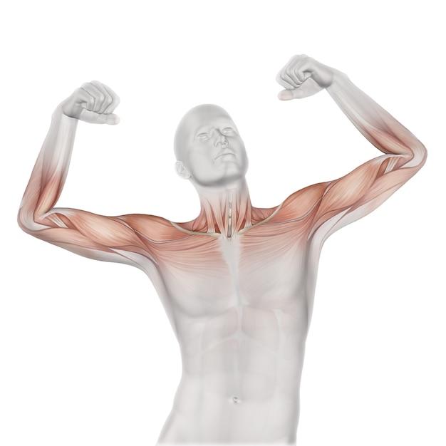 Figura médica masculina 3d con mapa muscular parcial. Foto gratis