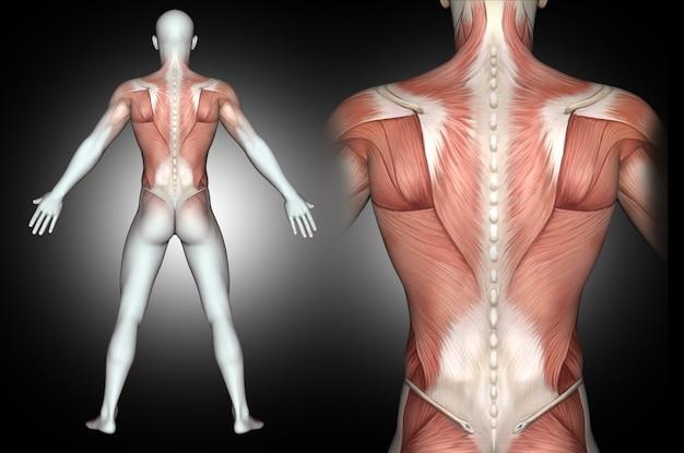 Figura médica masculina 3d con músculos de la espalda resaltados Foto gratis