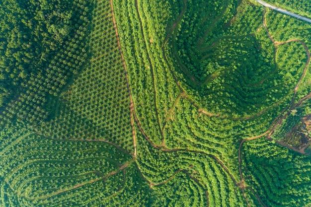 Fila del jardín de la plantación de palmeras en alta montaña en phang nga tailandia Foto Premium