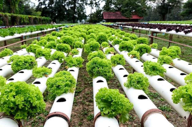 Fila de plantaciones al aire libre de hortalizas hidropónicas ...