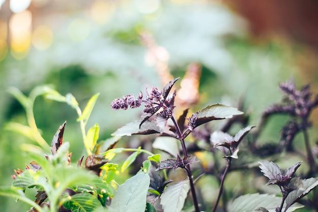 Flor de albahaca violeta en el jardín luz solar seleccionado foco Foto Premium