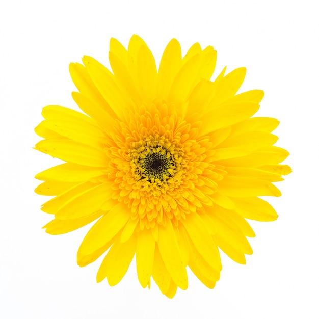 Flor amarilla en un fondo blanco Foto gratis