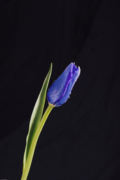 Flor azul aromática con hojas verdes en rocío. Foto gratis