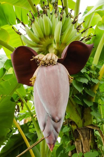 Flor De Banano Foto Premium