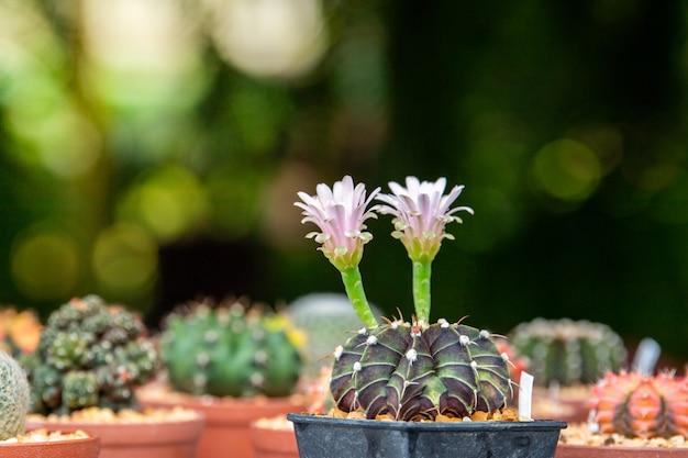 Flor blanca de cactus. Foto Premium