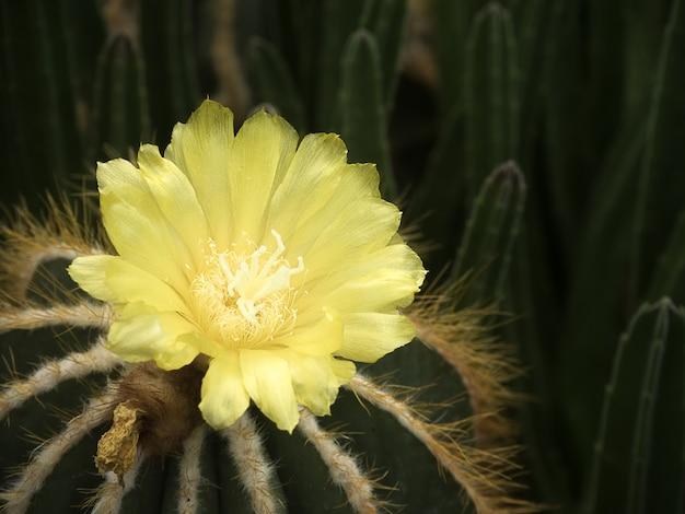 Flor de cactus amarillo Foto Premium