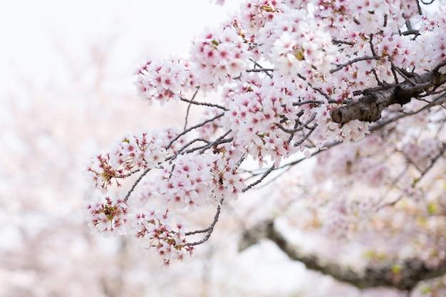 La Flor De Cerezo O Sakura En La Temporada De Primavera Descargar