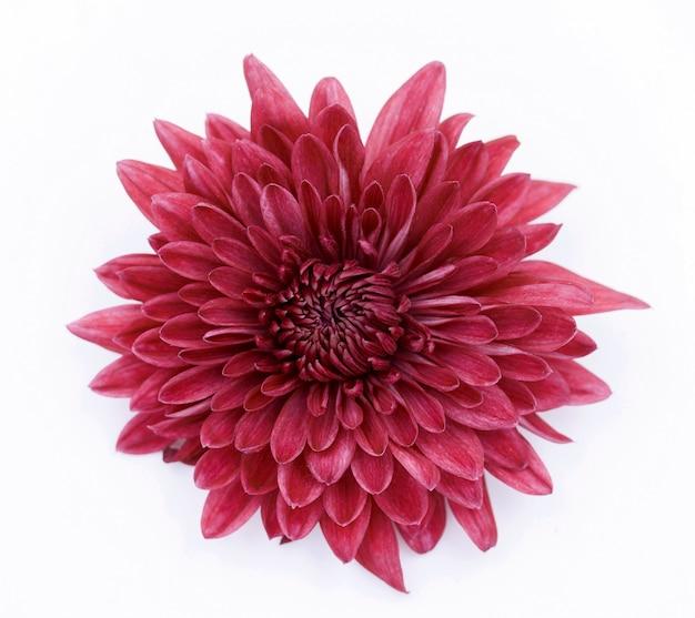 Flor de crisantemo rojo Foto Premium