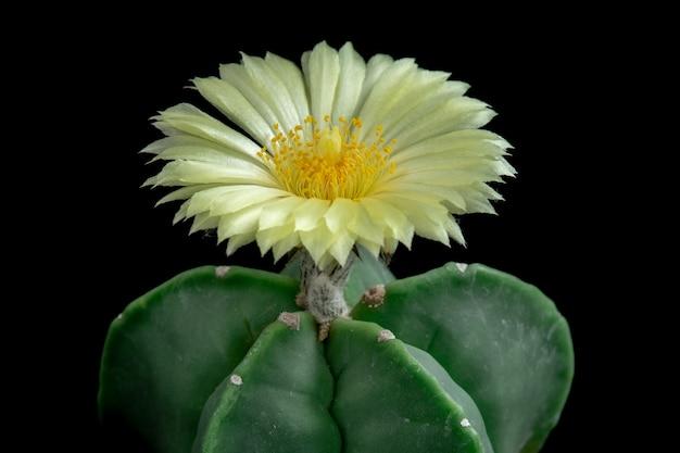Flor floreciente del cactus astrophytum myriostigma Foto Premium