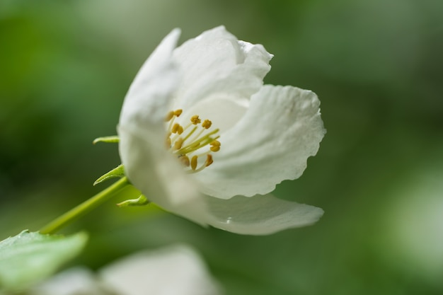 Una flor de flores de manzana en un cálido día de primavera. Foto Premium