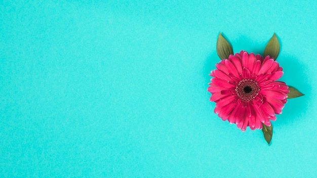 Flor de gerbera en mesa azul Foto gratis
