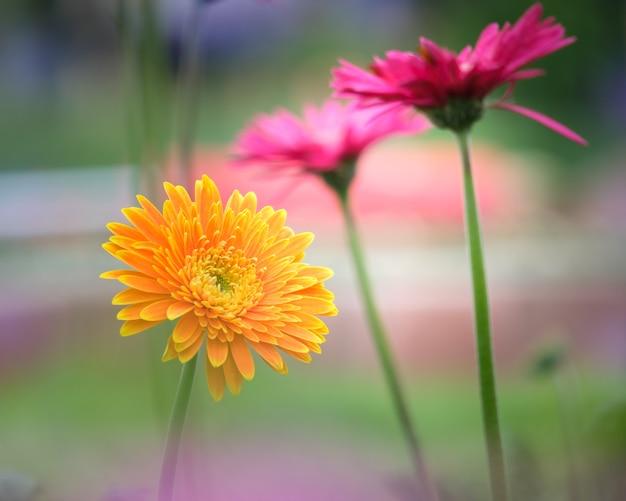 flor hermosa de la naranja del rosa y del amarillo de la margarita