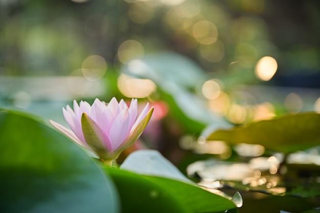 Flor de loto hermosa en el agua después de la lluvia en jardín con el bokeh. Foto Premium