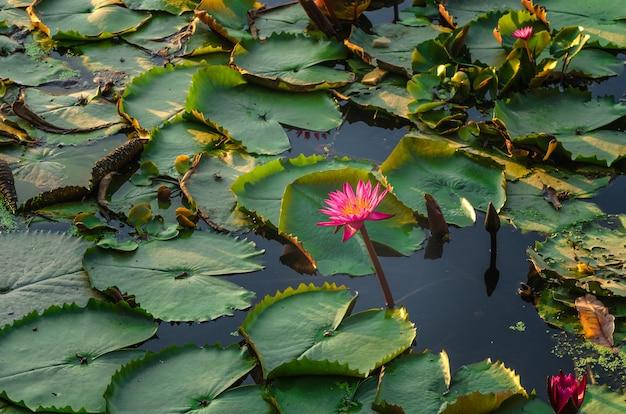 Flor De Loto Con Hoja De Loto Verde Descargar Fotos Premium