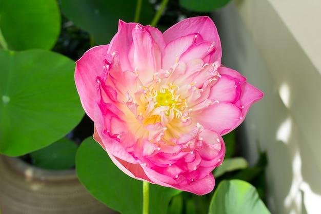 Flor De Loto En Plena Floración Que Simboliza La Religión El