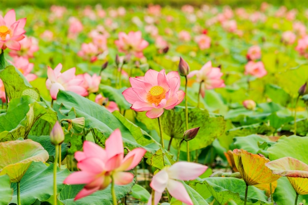 Flor De Loto Rosa Y Plantas De Flor De Loto Descargar Fotos Premium