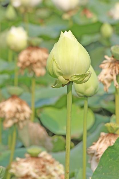Flor De Loto Verde Descargar Fotos Premium