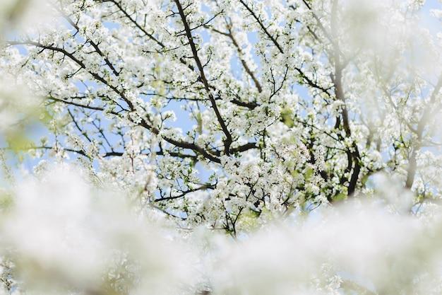 Flor de manzana o flor de cerezo en un día soleado de primavera Foto Premium