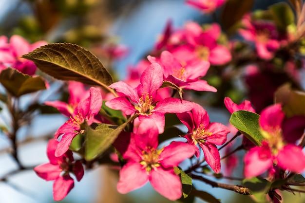 Flor de manzano Foto Premium