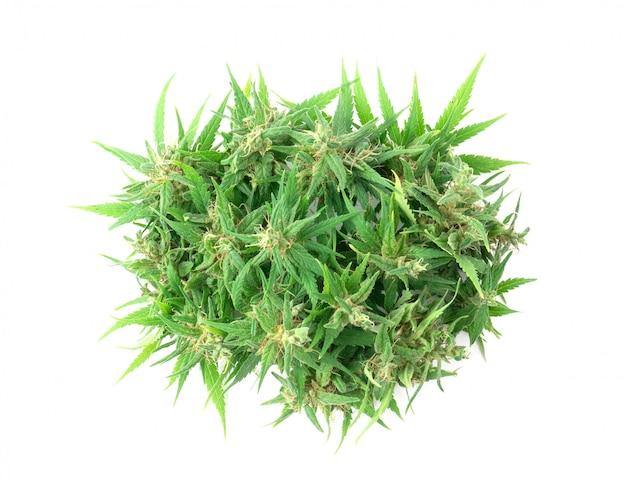 Flor de marihuana fresca aislada Foto Premium