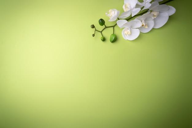 Flor de la orquídea de una ramita blanca, sobre un fondo verde, lugar para el texto. tarjeta para moda, cosmética o cuidado de la piel. vista de contraste desde la parte superior. Foto Premium