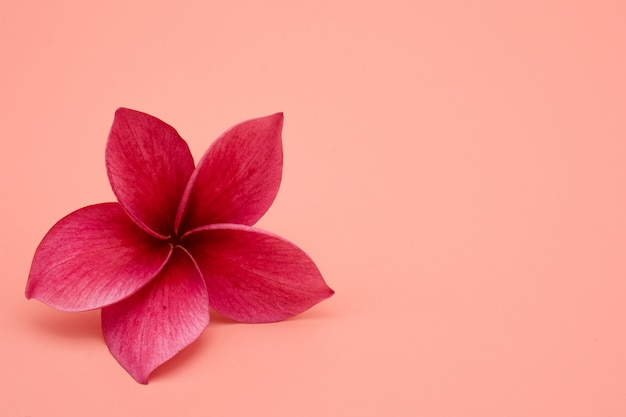 Flor de plumeria roja aislada sobre fondo rosa. Foto Premium