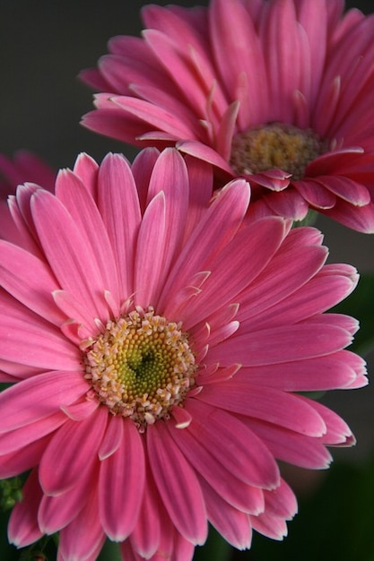 Flor rosa gerbera gerberas flor de la margarita ...