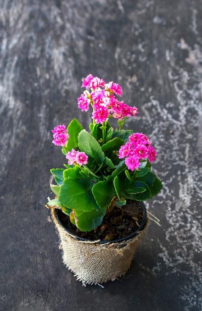 Flor rosa gloxinia Foto Premium