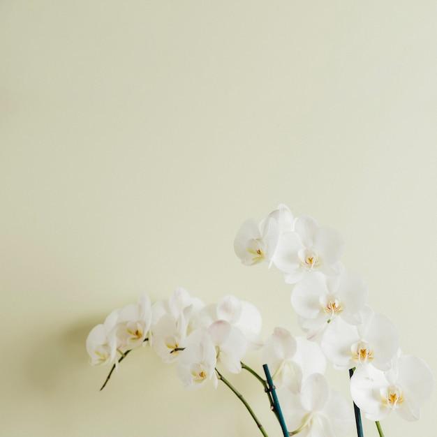 Floración de orquídeas blancas Foto gratis