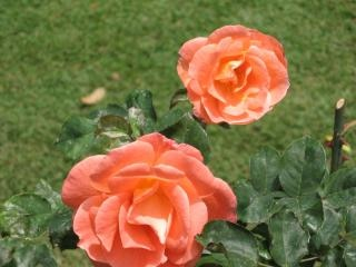 flores - rosas, jard?n Descargar Fotos gratis