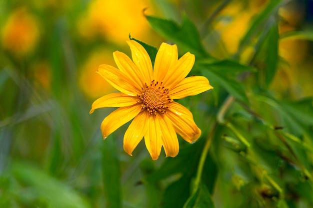 Las flores amarillas están floreciendo en la mañana. Foto Premium
